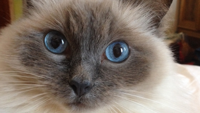 Rare ragdoll cat leaving charity £1,000 in the red and counting..