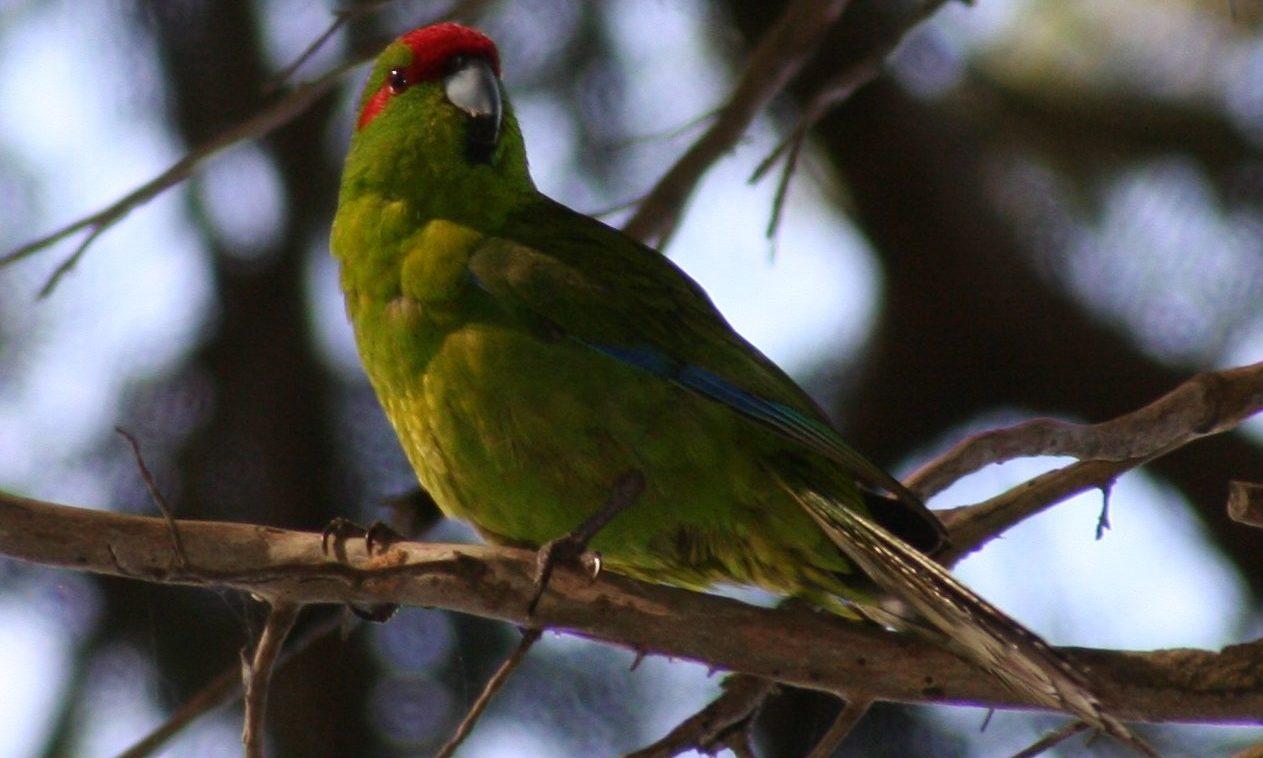 Avian: Kakarikis as pets and aviary birds | Post